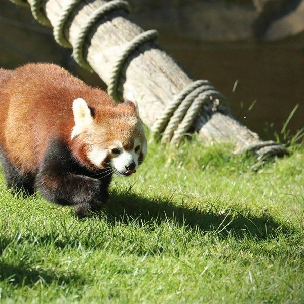 «Petit panda» a 11 ans - ZooParc de Beauval
