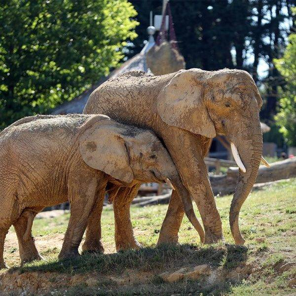 Un évènement de «poids»! - ZooParc de Beauval