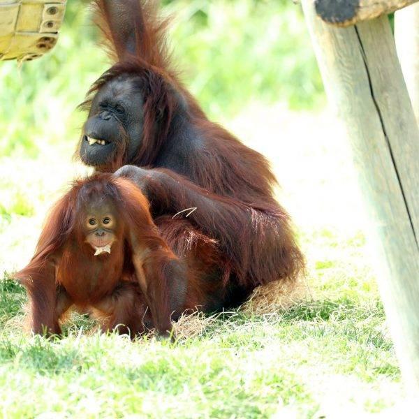 Journée mondiale des orangs-outans - ZooParc de Beauval