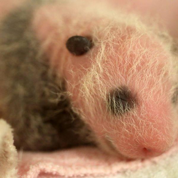 Notre Mini Yuan Zi a 2 semaines aujourd'hui ! - ZooParc de Beauval