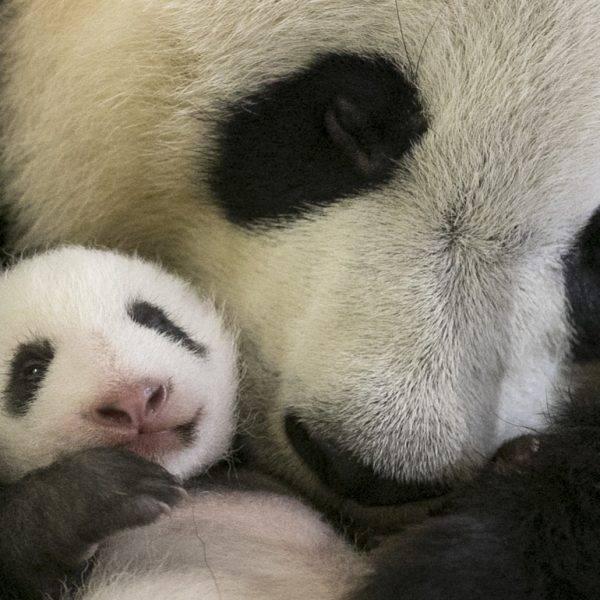 Mini Yuan Zi a ouvert les yeux ! - ZooParc de Beauval