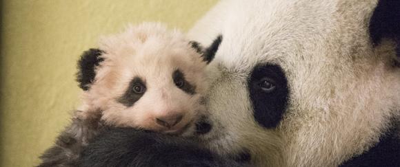 Déjà 3 mois pour Mini Yuan Zi ! - ZooParc de Beauval