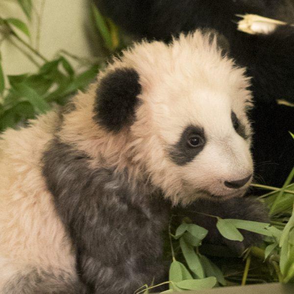Bébé panda se nomme… - ZooParc de Beauval