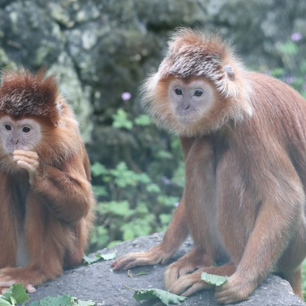 Happy-end pour nos langurs