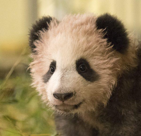 Yuan Meng, 5 mois, sera bientôt visible ! - ZooParc de Beauval