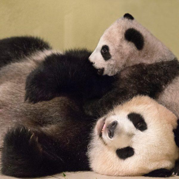 Yuan Meng : j-4 avant sa sortie ! - ZooParc de Beauval