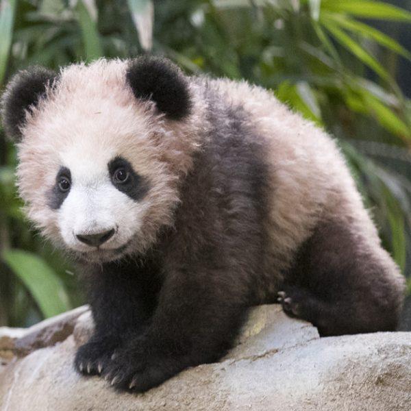 Yuan Meng a déjà 6 mois ! - ZooParc de Beauval
