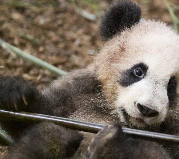 7 mois après sa naissance - ZooParc de Beauval