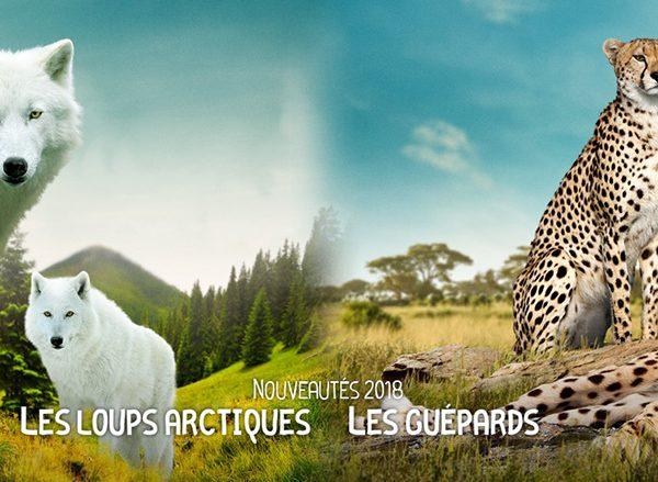 Arrivée des loups arctiques et des guépards - ZooParc de Beauval