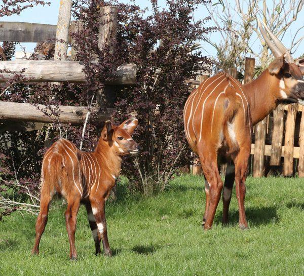 1ères pattes dans l'herbe… - ZooParc de Beauval