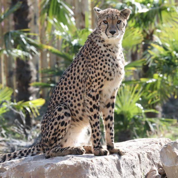 Sortie des guépards ! - ZooParc de Beauval