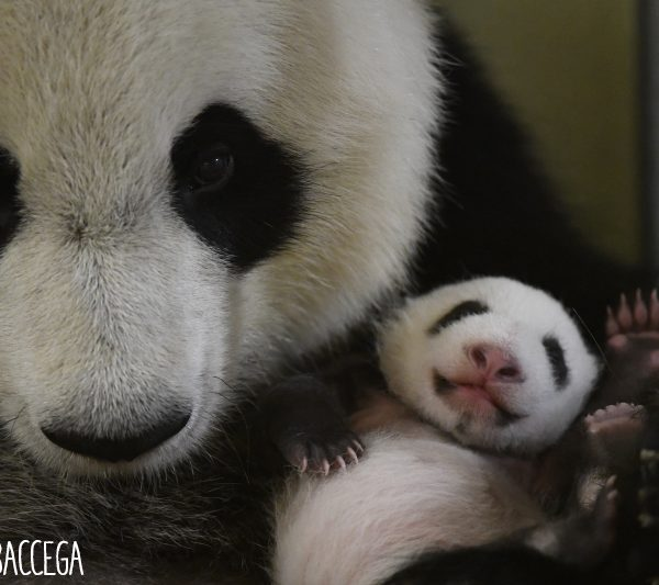 Yuan Meng : des photos exclusives ! - ZooParc de Beauval