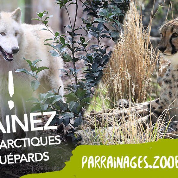 Loups et guépards : Parrainez-les !
