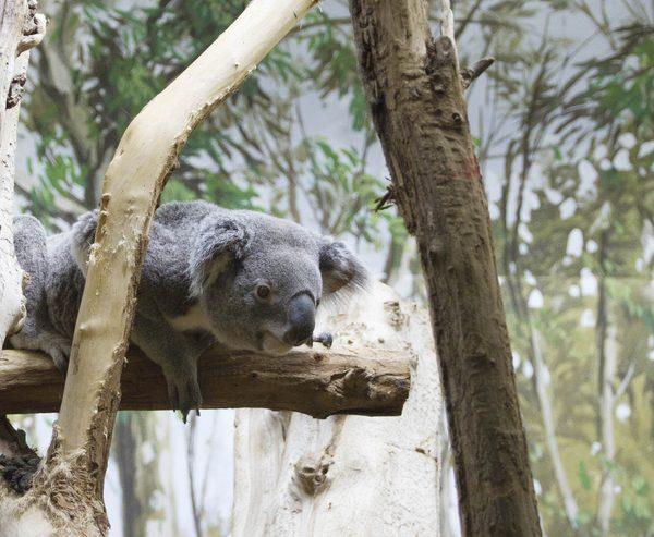 Au revoir Tinaroo - ZooParc de Beauval