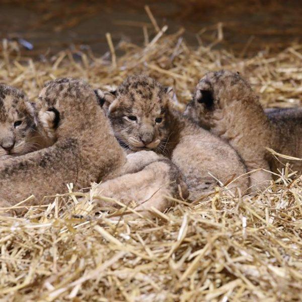 Rooaaarrr ! - ZooParc de Beauval