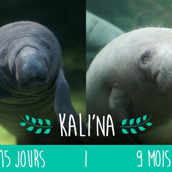 Kali'na, avant / après ! - ZooParc de Beauval
