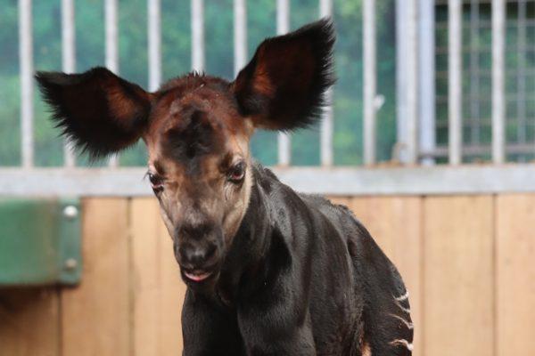 Son nom : Mambasa ! - ZooParc de Beauval