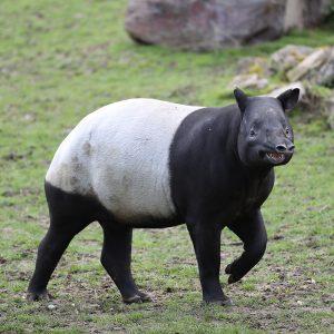 Harapan, femelle tapir malais