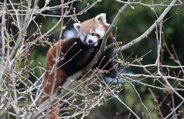 Pandas roux vs braconniers