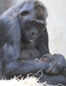 Khala et son bébé (© Givskud zoo)