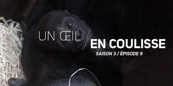 Un Œil En Coulisse saison 3 – Focus sur les gorilles - ZooParc de Beauval