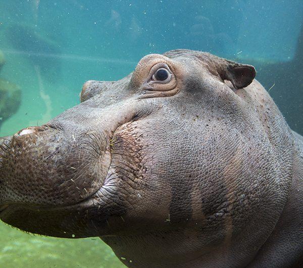 Mobilisons-nous contre le massacre des hippopotames en Zambie