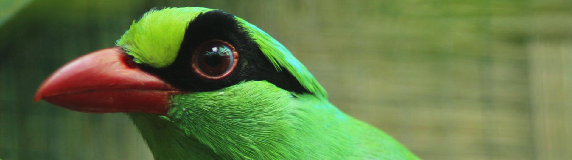 Oiseau chantant d'Asie du Sud-Est. EAZA-Silent Forest