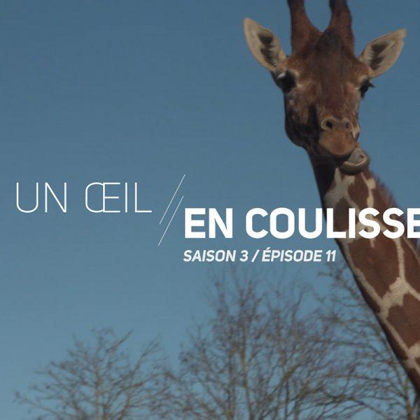 Un Œil En Coulisse saison 3 – les enrichissements de la Savane - ZooParc de Beauval