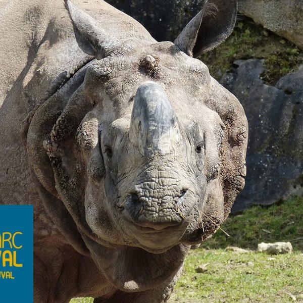 Joyeux anniversaire à notre rhinocéros indien, Sahib ! - ZooParc de Beauval