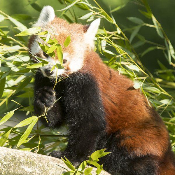 Des Pandas roux découverts à l'Ouest du Népal