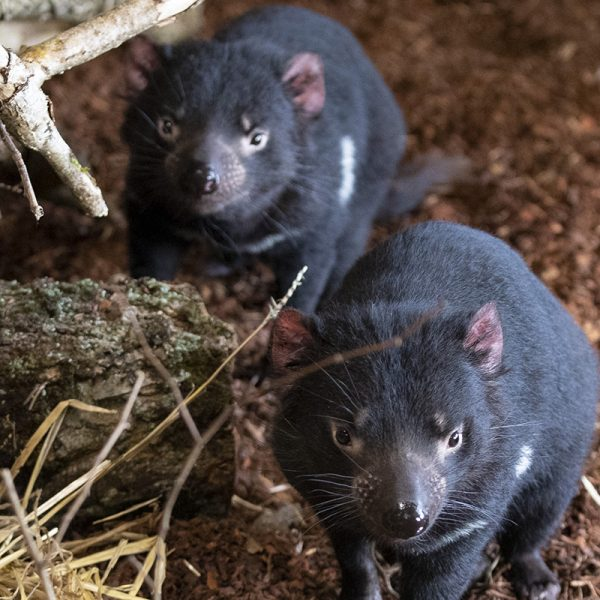 Les diables de Tasmanie sont là ! Rencontrez Cape et Cluan - ZooParc de Beauval