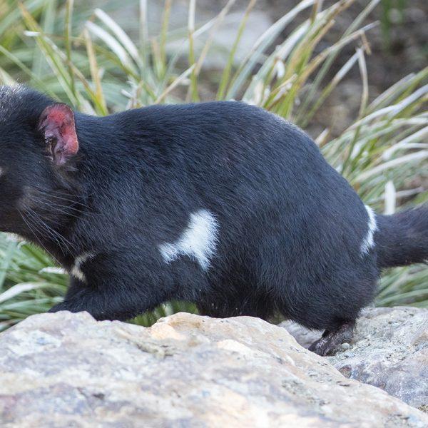 La première sortie des diables de Tasmanie Cape et Cluan - ZooParc de Beauval