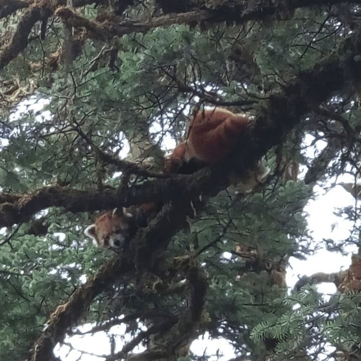 Couple de pandas roux photographiés par Kamal Nepali du Red Panda Network
