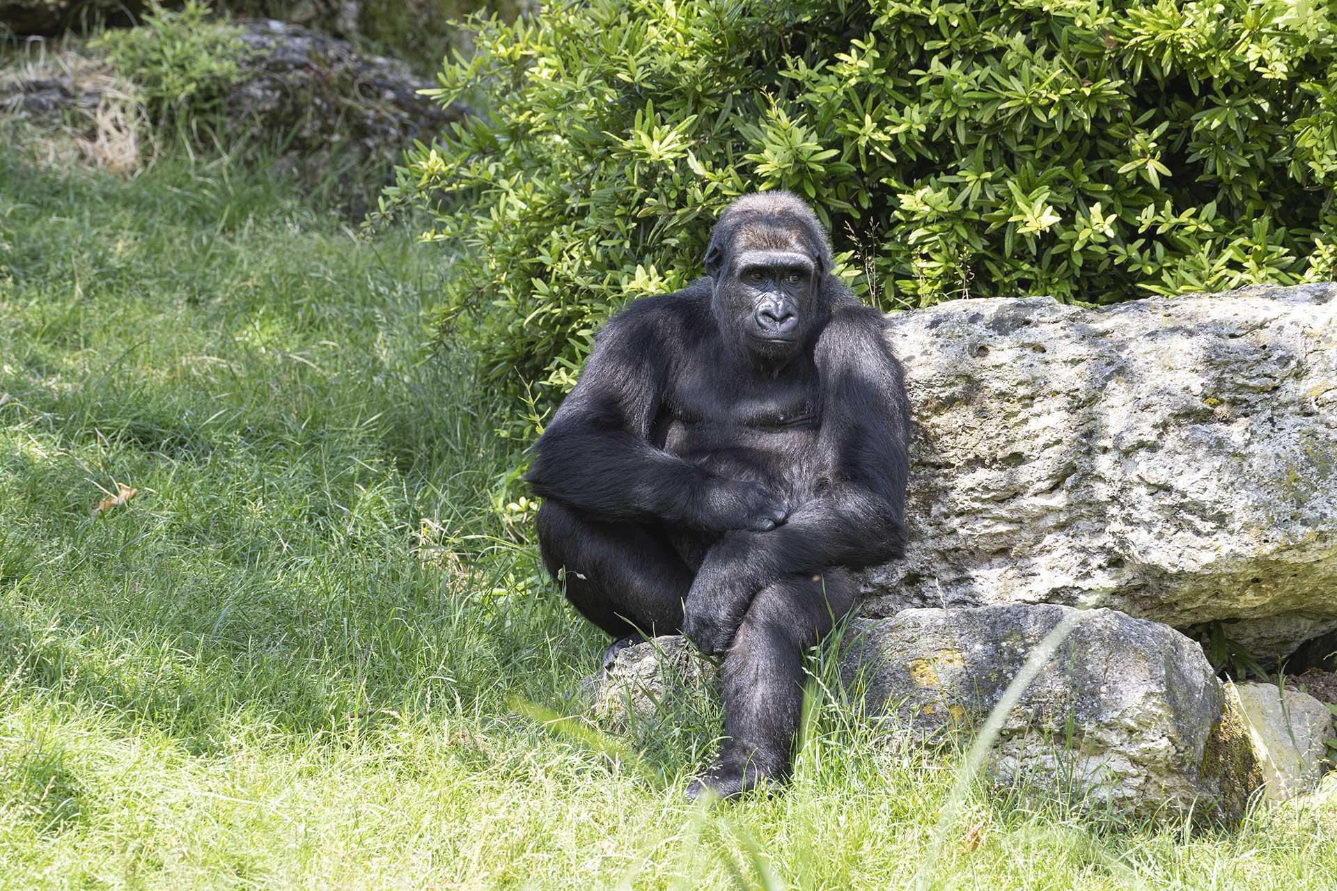 Mayombé, l'un des deux gorilles réintroduits
