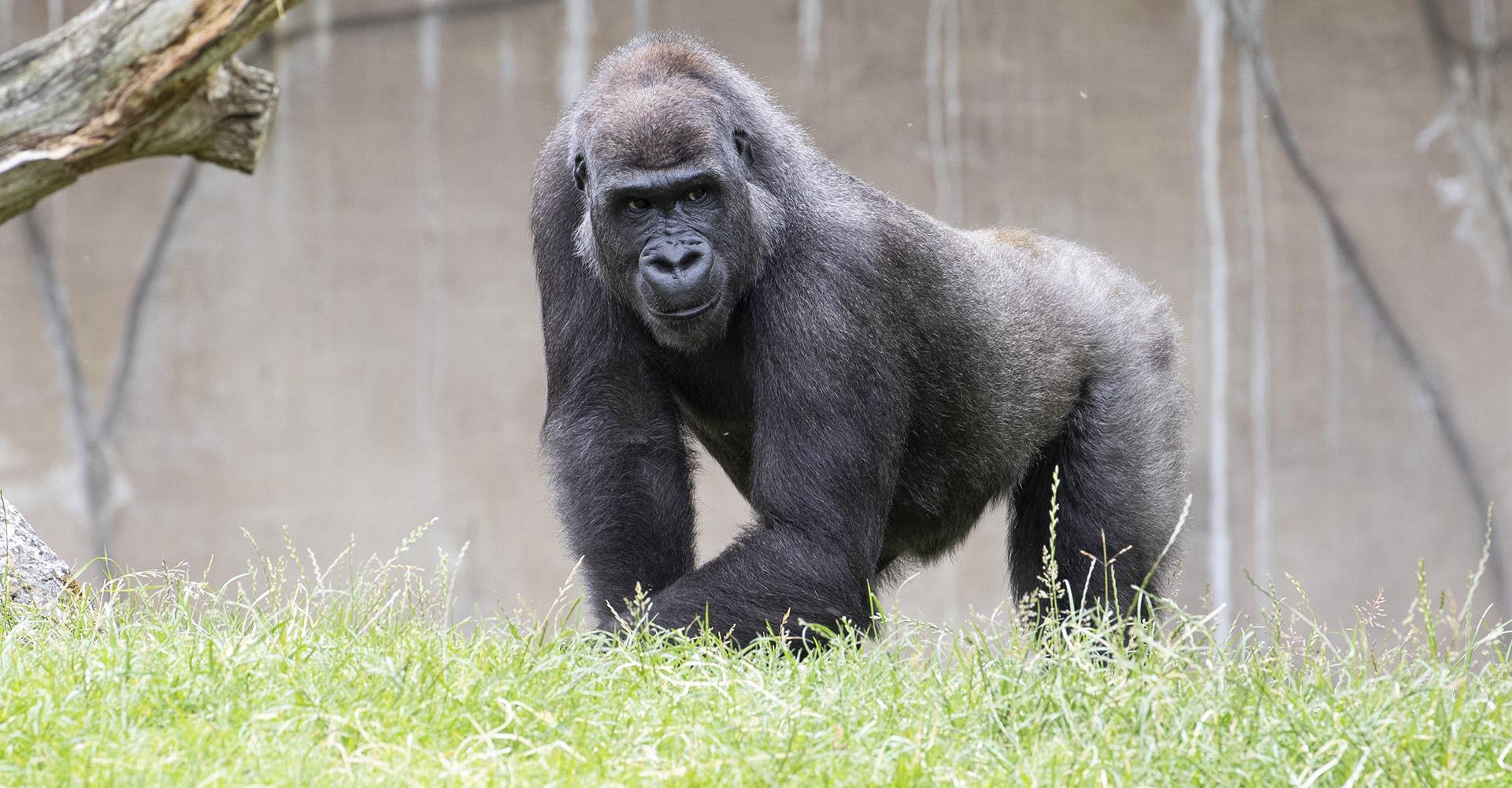 Mayombé, l'une des femelles gorilles pour la réintroduction