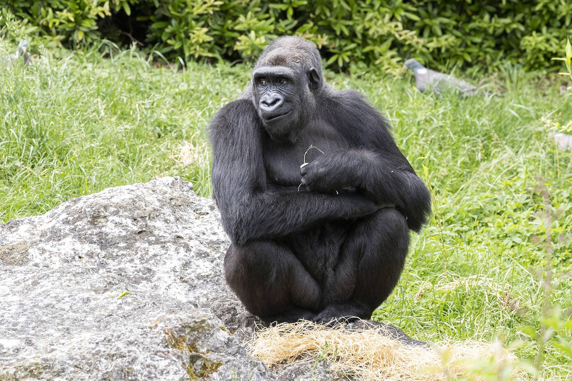 Mayombé l'une des femelles gorilles pour la réintroduction