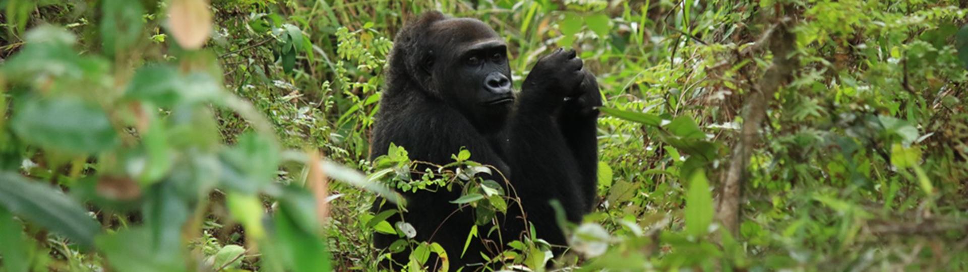 photos prises lors d'une précédente réintroduction de gorilles