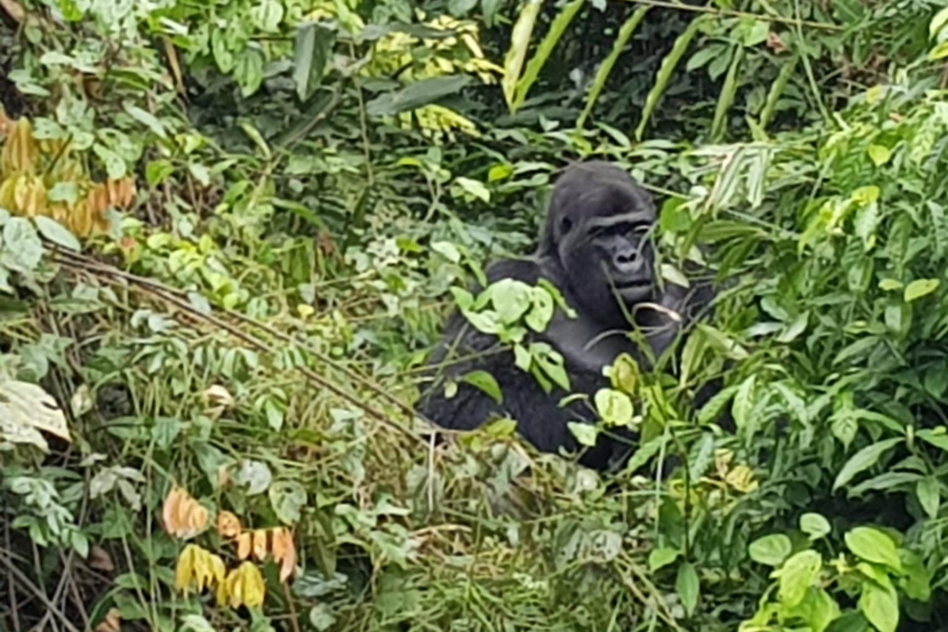 Un mâle gorille précédemment réintroduit