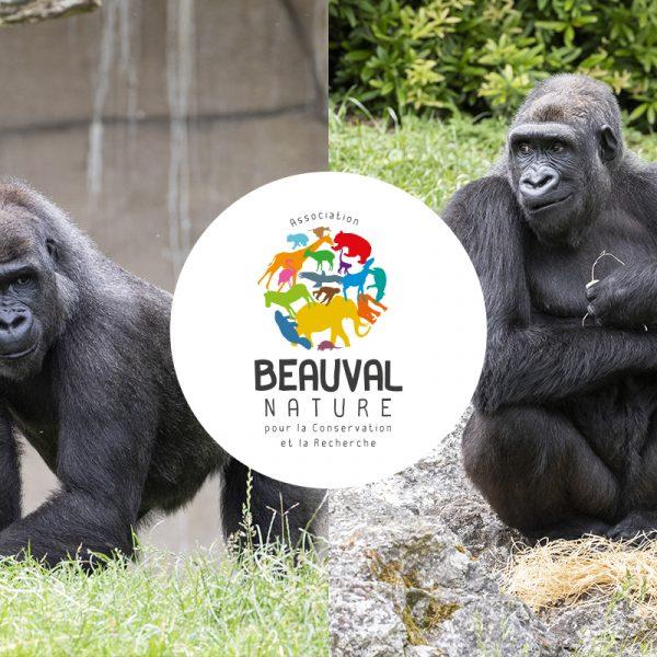 Première réintroduction de gorilles du ZooParc de Beauval !