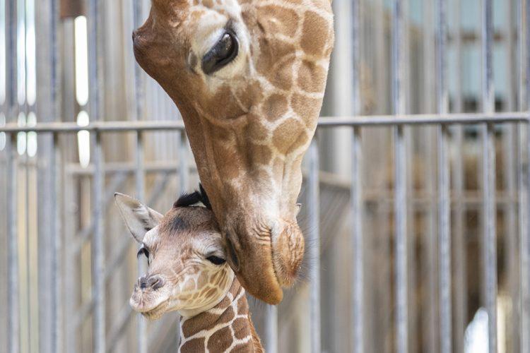 site de rencontres girafe adolescent datant des années 1980