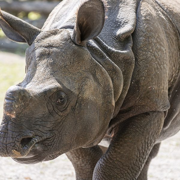 Départ de Gainda, jeune rhinocéros indien - ZooParc de Beauval