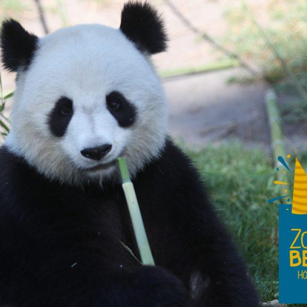 Huan Huan aussi fête son anniversaire ! - ZooParc de Beauval