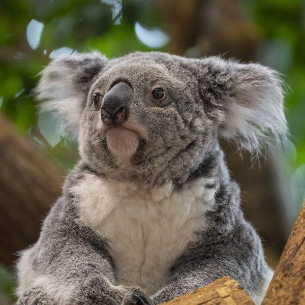 """Les koalas sont-ils en """"extinction fonctionnelle"""" ?"""
