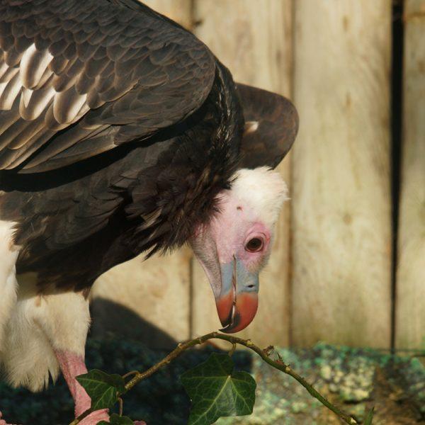 Agir pour la conservation des vautours