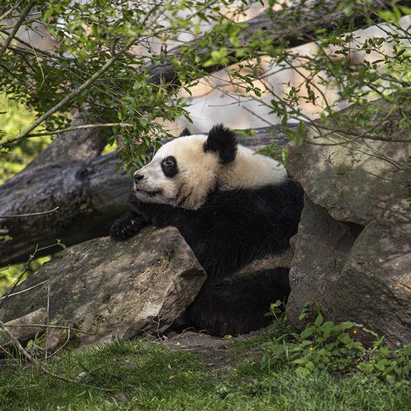 Du nouveau chez les pandas – Yuan Meng prend son indépendance - ZooParc de Beauval