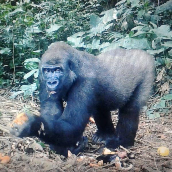 Une triste nouvelle venue du Gabon