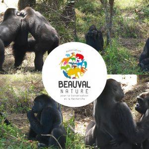 Gorille réintroduite par Beauval Nature