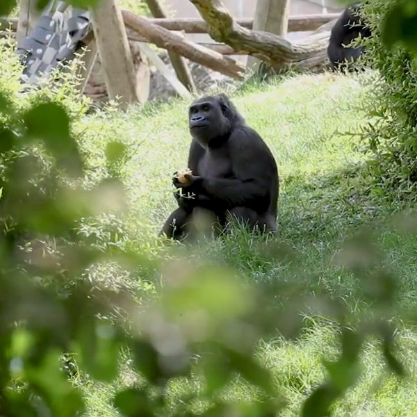 Beauval Nature raconte : réintroduction de gorilles au Gabon