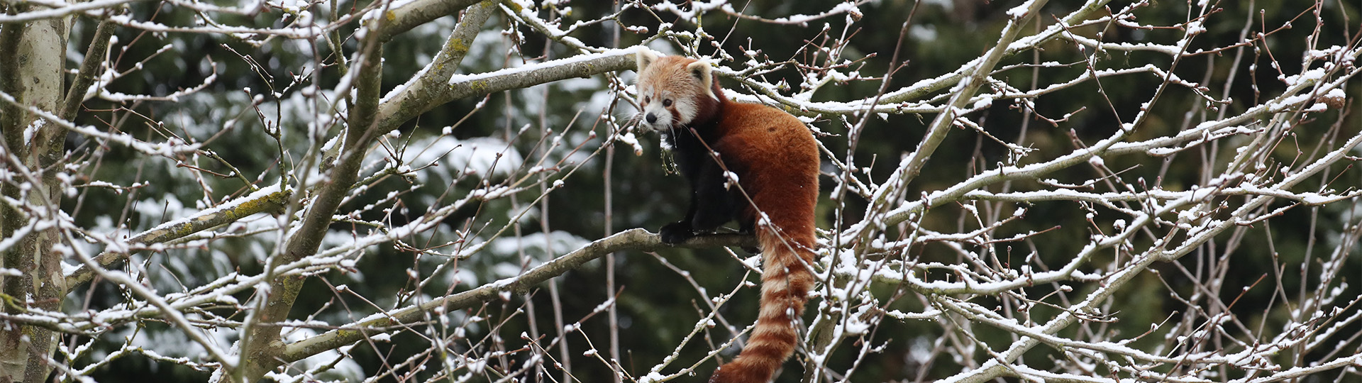 panda_roux