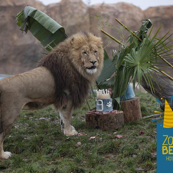 Un très bon anniversaire au Roi Krüger ! - ZooParc de Beauval